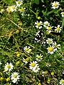 Grenchen - Callimorpha dominula on flowers.jpg