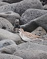 Grey Plover, North Seymour Island, Galapagos (4885192996).jpg