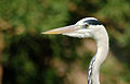 Grey heron (8193264301).jpg