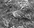 Grouse in brush near Lake Chelan, April 1914 (LL 1259).jpg