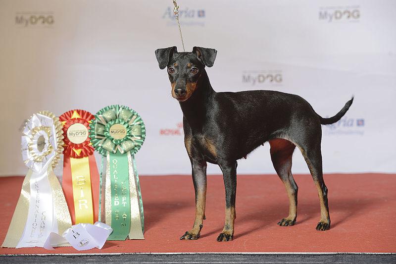 El Manchester Terrier fue criado con el fin de controlar las plagas urbanas