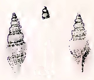 <i>Guraleus cuspis</i> Species of gastropod