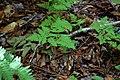 Gymnocarpium dryopteris (16309554346).jpg