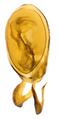 Gyrohypnus angustatus Stephens, 1833 Genital.png