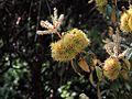 H20130803-9370—Chrysolepis chrysophylla v minor—RPBG (9492750280).jpg