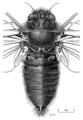 HEMI Cicadidae Maoricicada oromelaena m 1.png