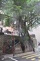 HK Mid-levels 堅道 Caine Road wall tree Banyan September 2019 IX2 08.jpg