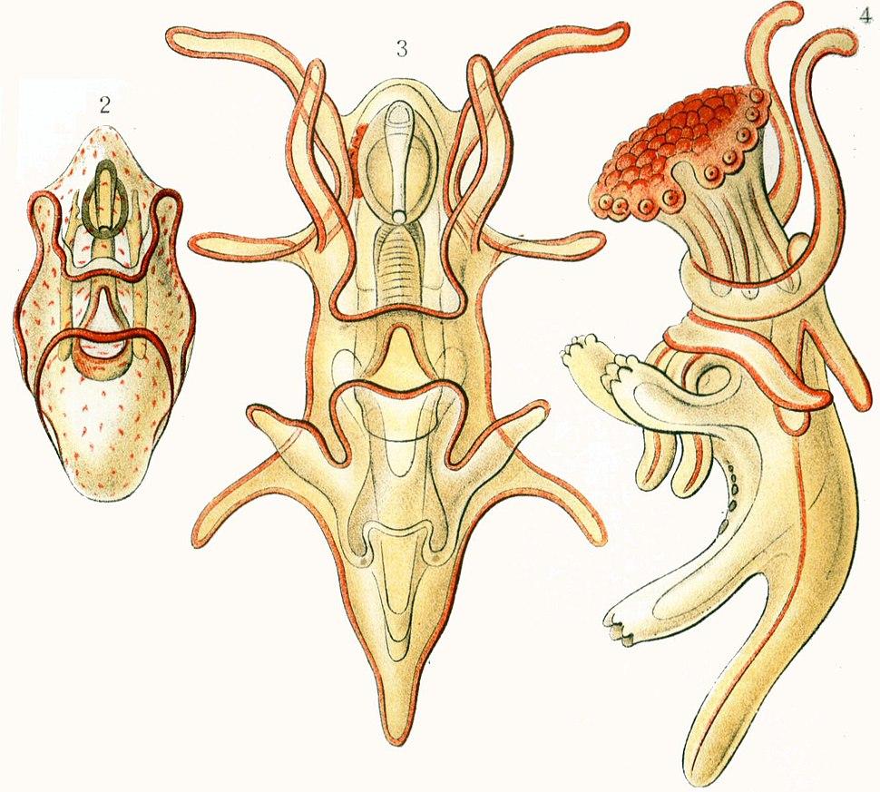 Haeckel Asteridea Larvae