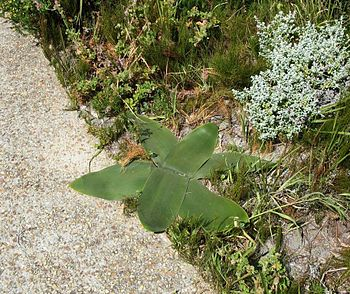 April Fools plant. Cape. South Africa