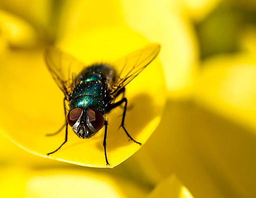 Hairy greenbottle fly eyes