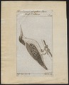 Halcyon chloris - 1772-1829 - Print - Iconographia Zoologica - Special Collections University of Amsterdam - UBA01 IZ16800357.tif