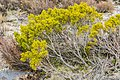 Halocarpus bidwillii in Rangipo Desert 06.jpg