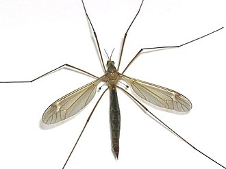 A cranefly, showing the hind wings reduced to drumstick-shaped halteres Halteres-Tipule.jpg