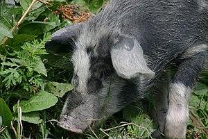 Pig in Sno village