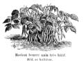 Haricot beurre nain très hâtif Vilmorin-Andrieux 1904.png