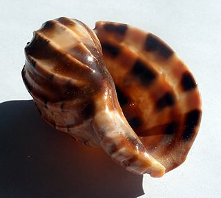 <i>Harpa doris</i> species of mollusc