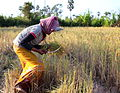 Harvesting the Rice ...Cambodia (6042304679).jpg