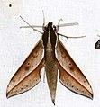 Hawkmoth (Xylophanes amadis) (25396686528).jpg