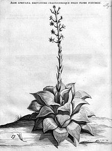 Haworthia retusa Iconotype J Commelin 1701.jpg