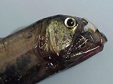 Head of a pacific Viperfish.jpg