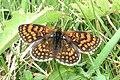 Heath fritillary (NH Bukovec) (22194681778).jpg