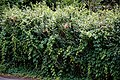 Hedge with rambling rose at Nuthurst, West Sussex, England.jpg