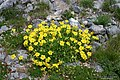 Helianthemum nummularium plant (03).jpg