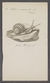 Helix nemoralis - - Print - Iconographia Zoologica - Special Collections University of Amsterdam - UBAINV0274 089 01 0025.tif