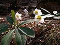 Helleborus niger .JPG