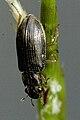 Helophorus.aequalis.-.lindsey.jpg