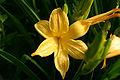 Hemerocallis-hybrida-flower.JPG