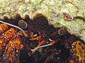 Hermit Crab, Bunaken Island.jpg