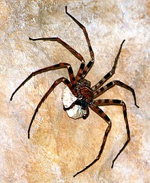 huntsman edderkop