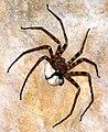 Heteropoda maxima 1.jpg