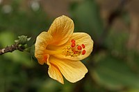 Hibiscus boryanus orange flower.JPG