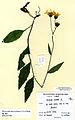 Hieracium maccoshiana.jpg