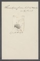 Himantopus corona - - Print - Iconographia Zoologica - Special Collections University of Amsterdam - UBAINV0274 113 17 0020.tif