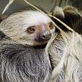 Hoffmann's Two-Toed Sloth.jpg