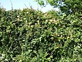Honeysuckle Hedge - geograph.org.uk - 459445.jpg