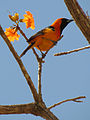 Hooded Oriole (16008351444).jpg