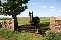 Horse in gateway - geograph.org.uk - 1299566.jpg