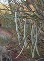 Horse mulga fruit.jpg