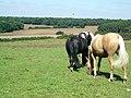 Horses grazing - geograph.org.uk - 534920.jpg