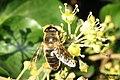 Hoverfly (RL) (8268498351).jpg