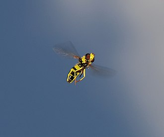 Insect flight - Hoverfly (Xanthogramma pedissequum) has indirect flight musculature.