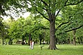 Hrast luznjak, Quercus robur L (1).jpg