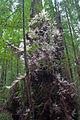 Humboldt Redwoods 'albino' 2.jpg