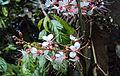 Humboldtia brunonis Wall. 06.JPG
