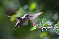 Hummingbird (2) - Flickr - Joe Parks.jpg