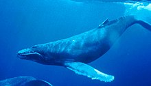 220px Humpback Whale underwater shot Humpback whale Dutch update